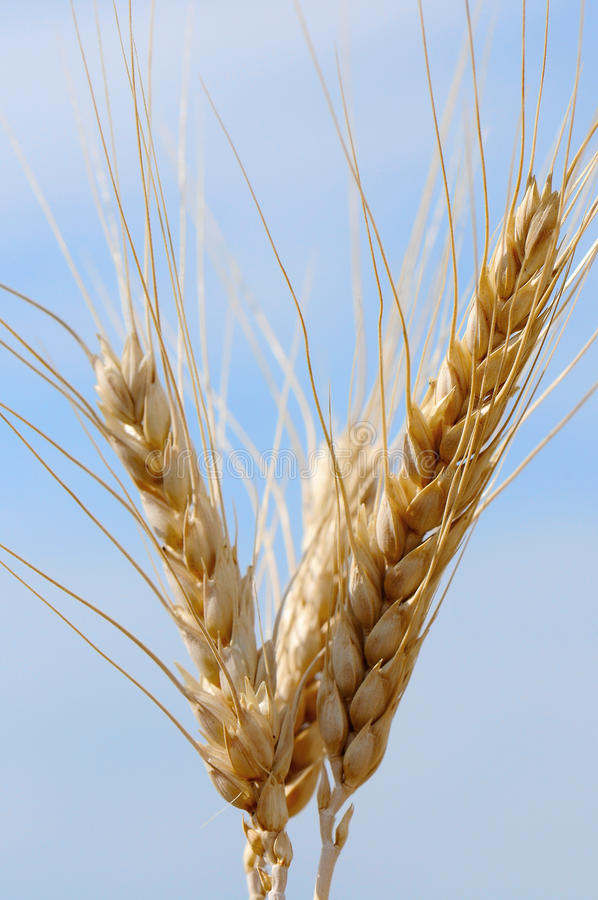 Free Ears Of Wheat Stock Image - 10085451