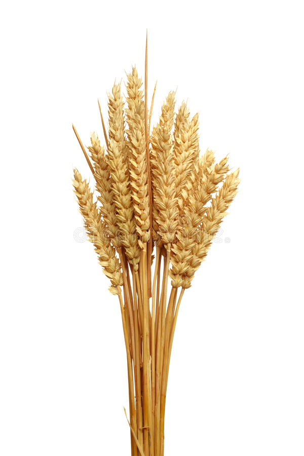 Free Ears Of Wheat. Royalty Free Stock Photography - 15717477