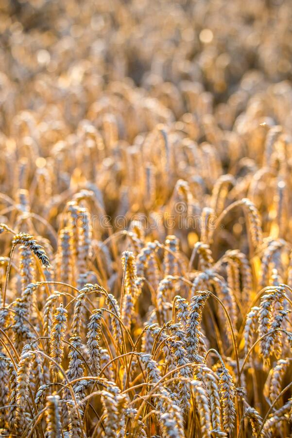 Free Ears Of Wheat In A Field Harvest Time Royalty Free Stock Images - 194389719
