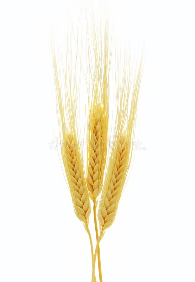 Free Ears Of Wheat Isolated On White Background Royalty Free Stock Images - 31463909