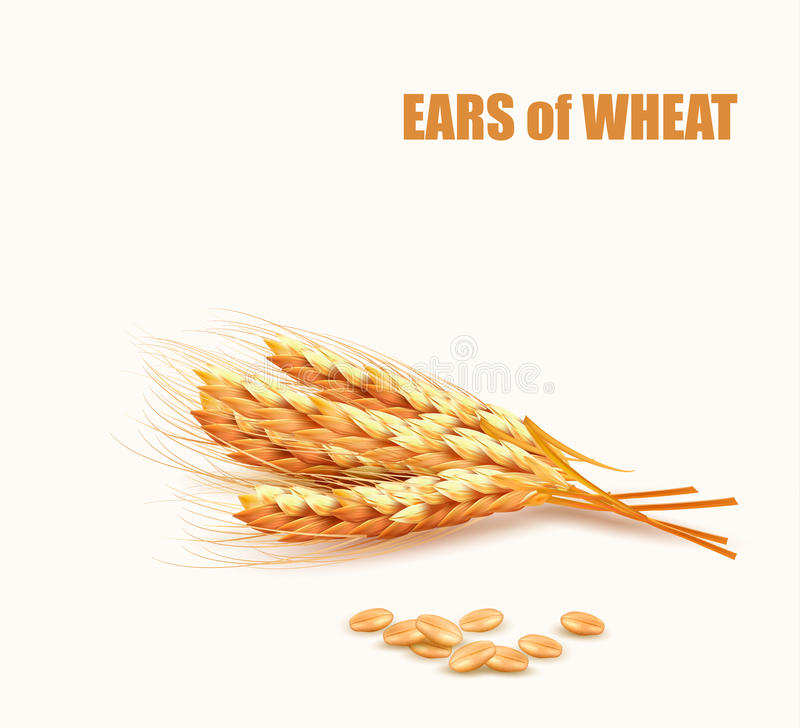Free Ears Of Wheat. Vector Royalty Free Stock Photos - 55516578