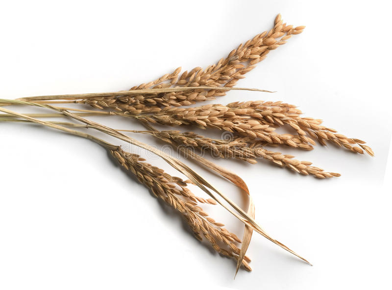 Download Ears of rice stock image. Image of rice, plant, white - 24729515