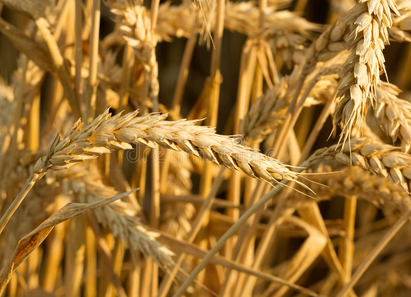 Ears of ripe wheat before harvest stock photos