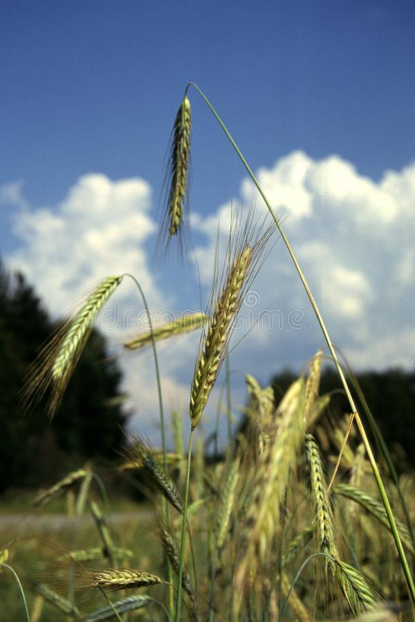 Ears Of Rye From a Low Angle With Blue Sky And Clouds On Background. stock photo
