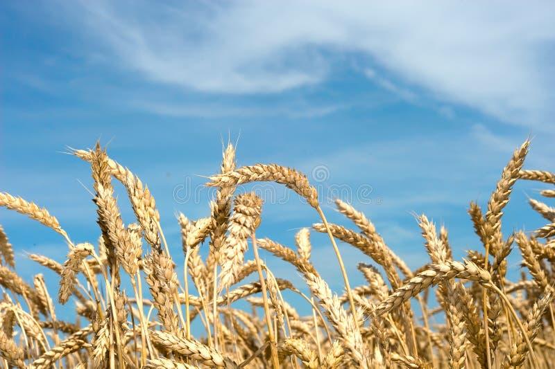 Ears of wheat stock photos