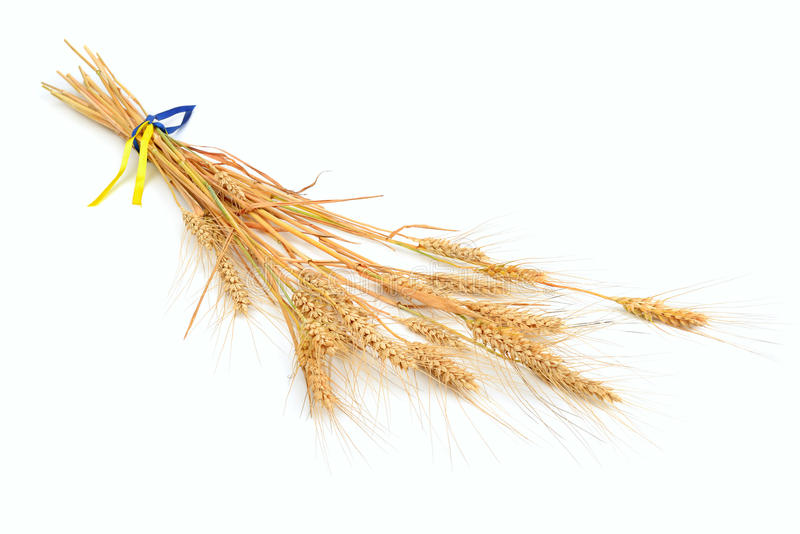 Download Ears of wheat stock photo. Image of agriculture, bunch - 25808556
