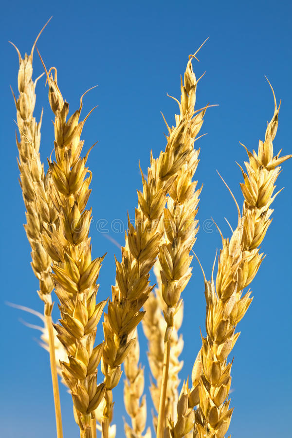 Download Ears of wheat stock image. Image of ears, food, bright - 26327361