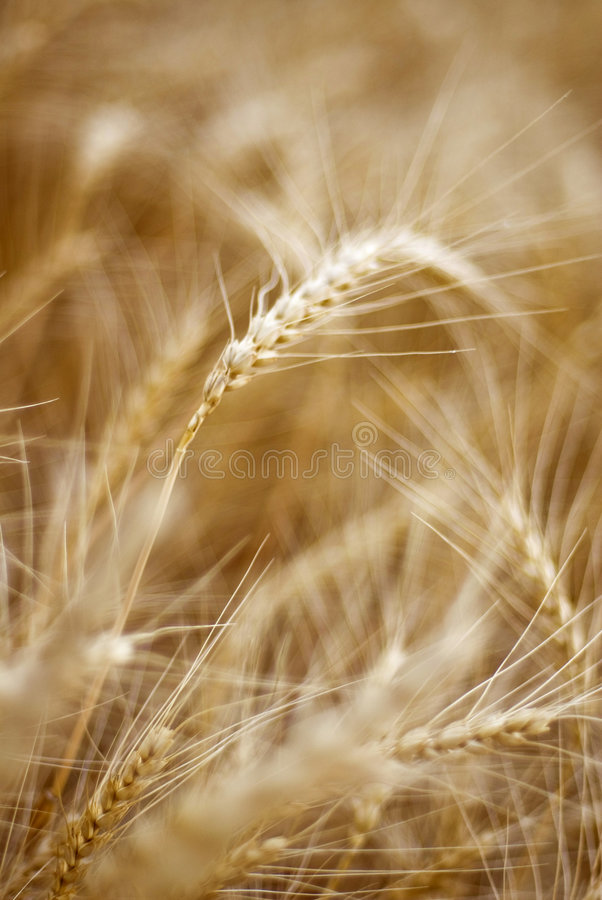 Download Ears Of Wheat Stock Images - Image: 5623674