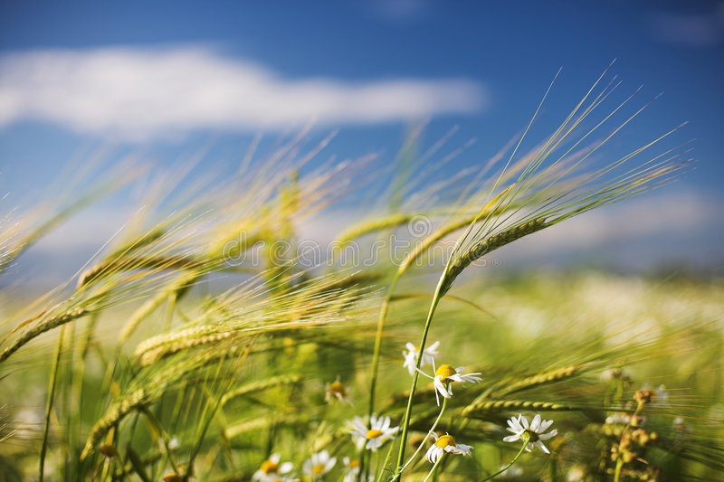 Download Ears of wheat stock photo. Image of harvest, countryside - 6056594