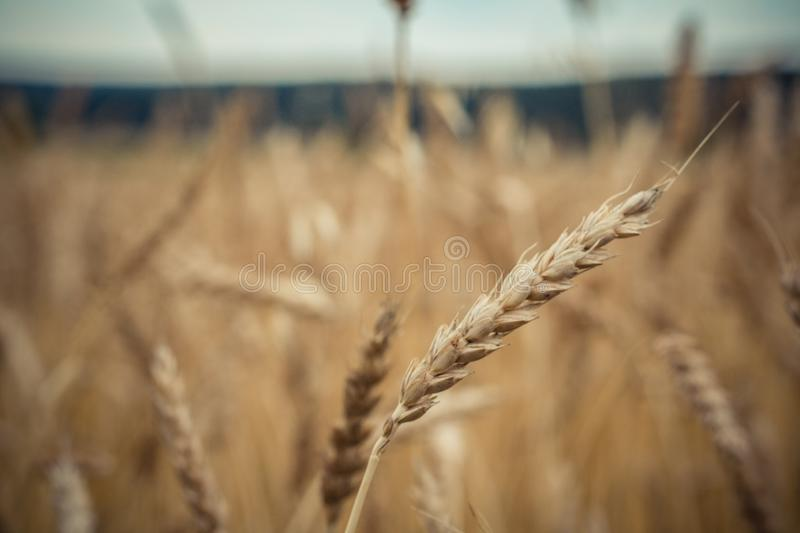 spike of wheat close up on the background of a ash field stock photography