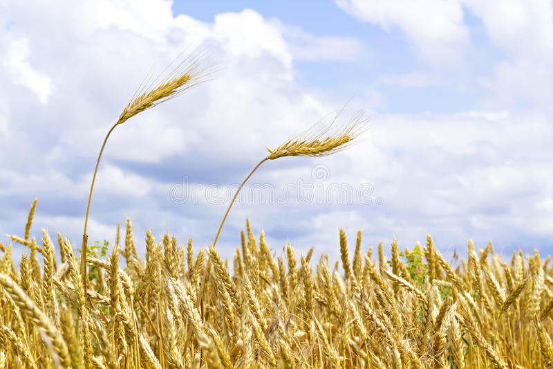 Download Ears Of Wheat Against The Sky Stock Image - Image: 20154107