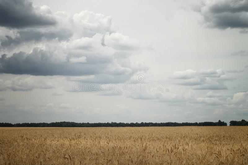 Ears of wheat in an agricultural field in cloudy weather under gray sky with big clouds royalty free stock photos