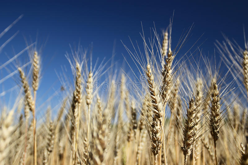 Ears of the wheat royalty free stock image
