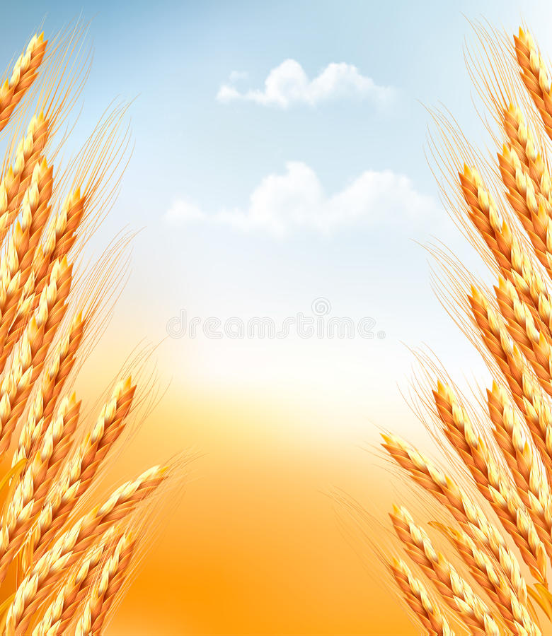 Download Ears of wheat background. stock vector. Image of corn - 41914222