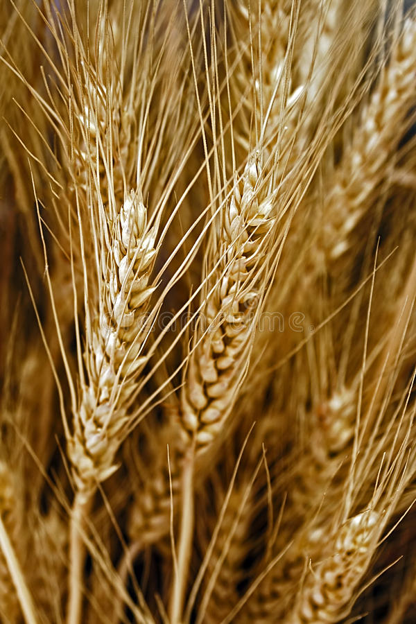 Download Ears Of Wheat Stock Images - Image: 30807054