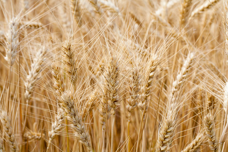 Download Ears of wheat in a field stock image. Image of rural - 28259393
