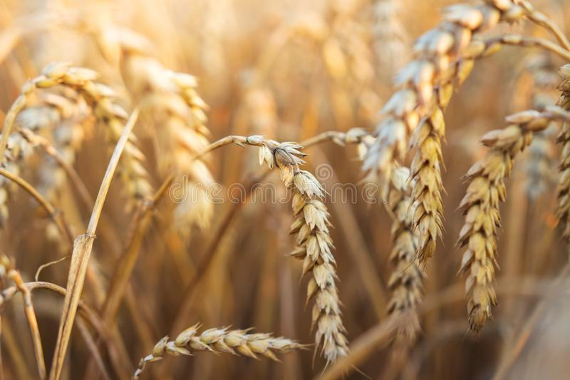 Ears of wheat on wheat field. Wheat harvest. Agriculture and harvesting concept royalty free stock photo