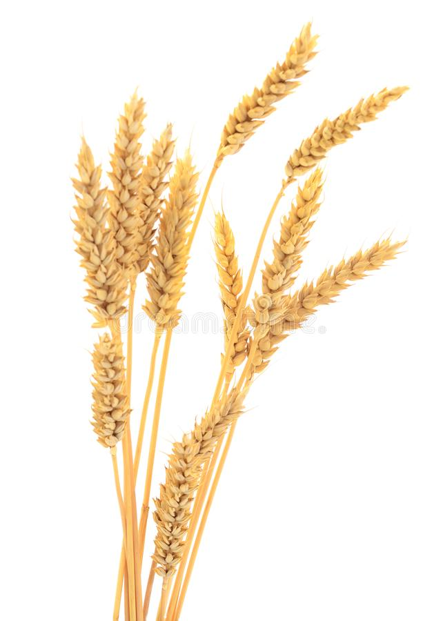 Ears of wheat on white. royalty free stock photography