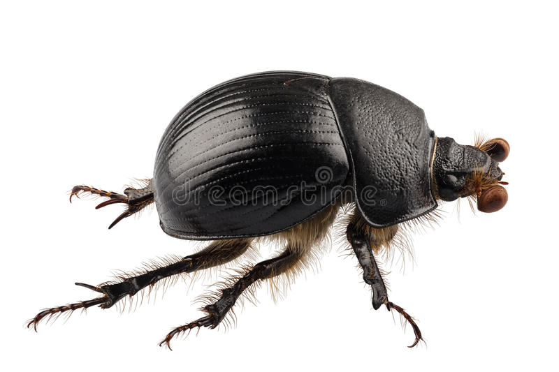 Earth-boring dung beetle species Geotrupes stercorarius stock photography