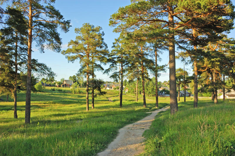 Earth foot path between pine trees. In small town stock photos
