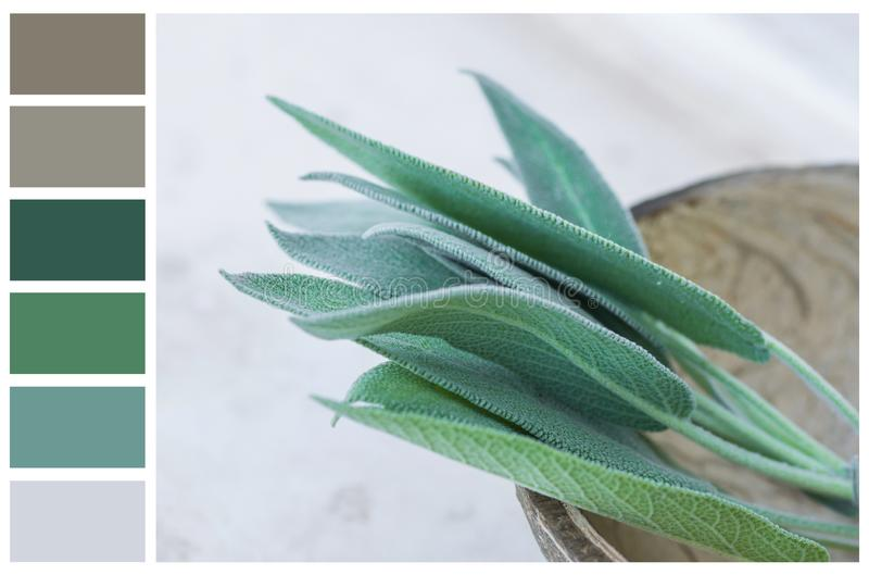 Earth and greenery color palette swatches of complementary tones. Fresh sage leaves in coconut bowl on white gray stone background stock photos