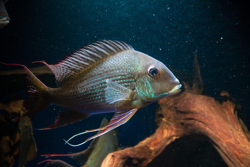 Eartheater Cichlid Geophagus altifrons stock photos