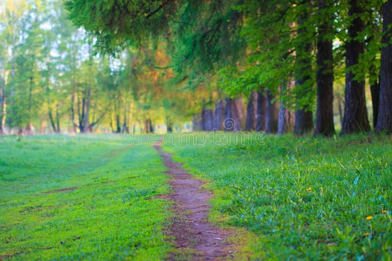 Earthen narrow walking path in park along row of trunks of larch trees near green grass on lawn at spring evening. Landscape. stock photography