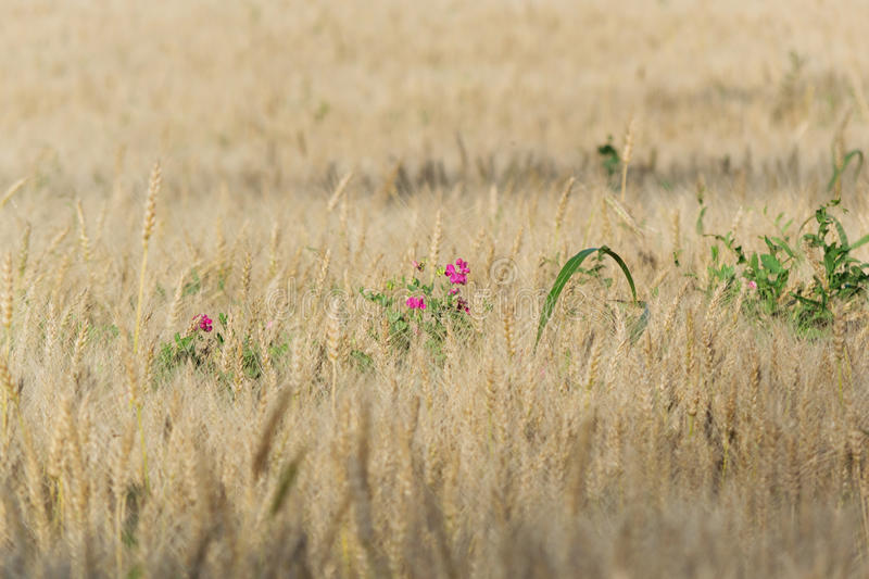Earthnut pea flowers in the Rye stock photography