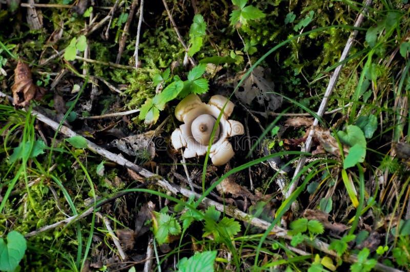 Earthstar Geastrum Triplex pieczarka w lasowym underbrush zdjęcie stock