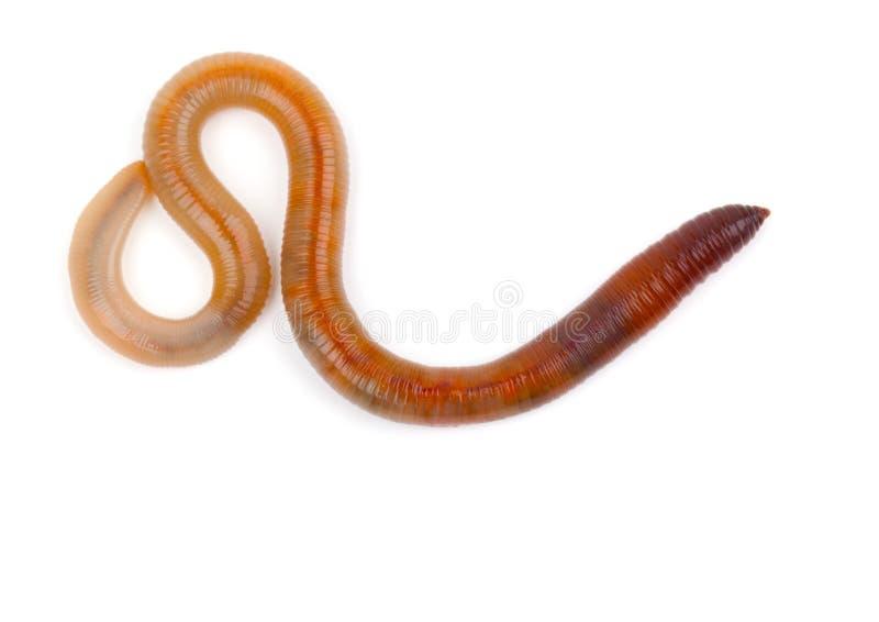 Earthworm fotografia stock libera da diritti