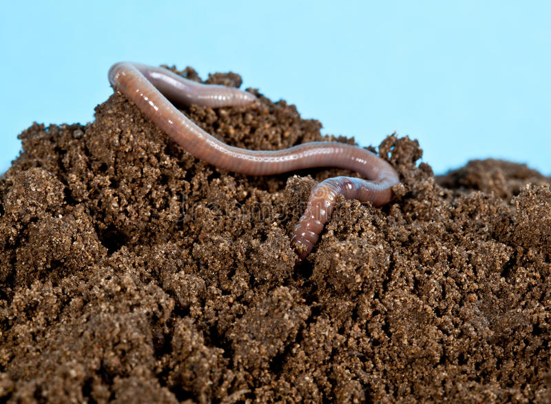 Earthworm. In a heap of soil stock photos