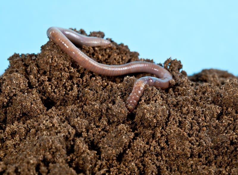 Earthworm stock photos