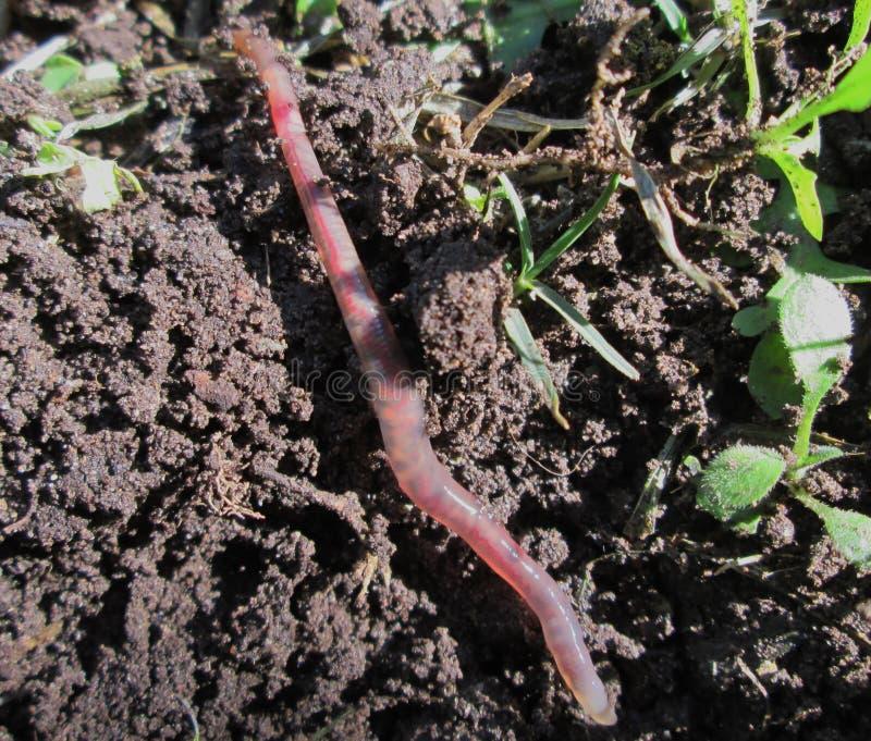 earthworm images libres de droits