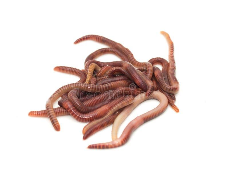 earthworm image stock