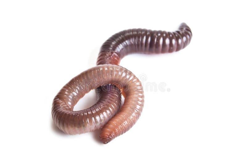 earthworm photo stock