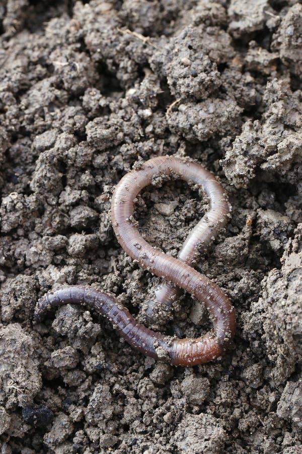 earthworm photos libres de droits