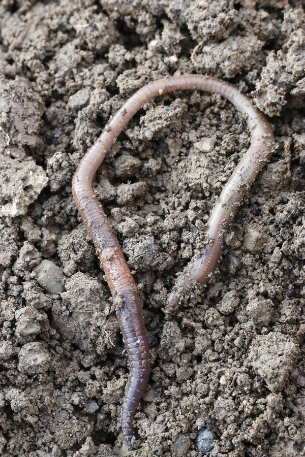 earthworm photographie stock