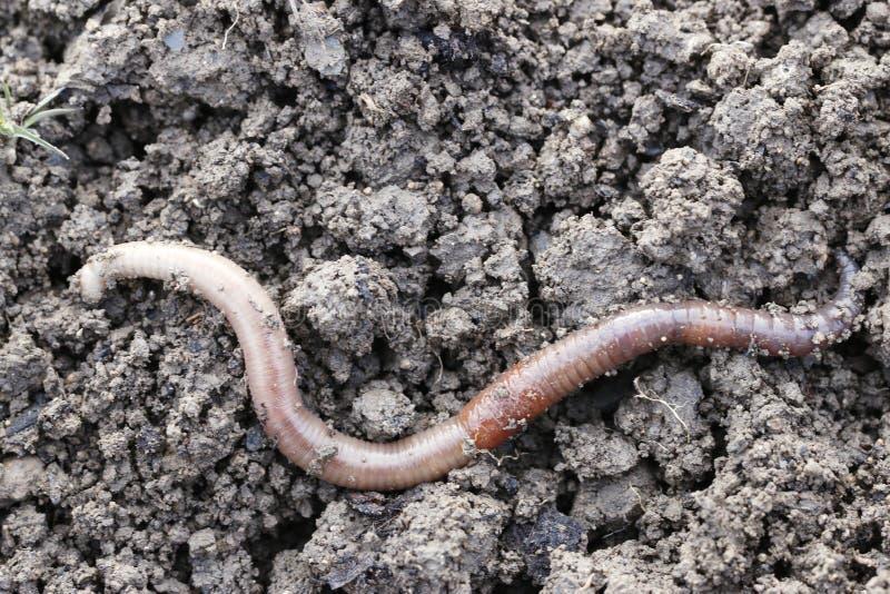 earthworm fotografie stock libere da diritti