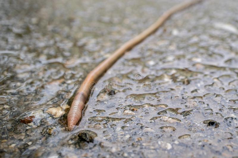 The earthworm crawled out onto the asphalt during the rain. Close-up of the worm visible rings on his body stock photography