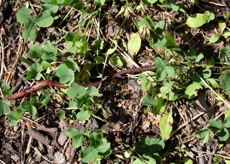 Earthworm crawling among clover stock photo