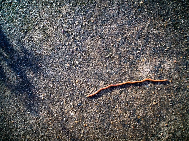 The Earthworm Crawling. On The Road royalty free stock image