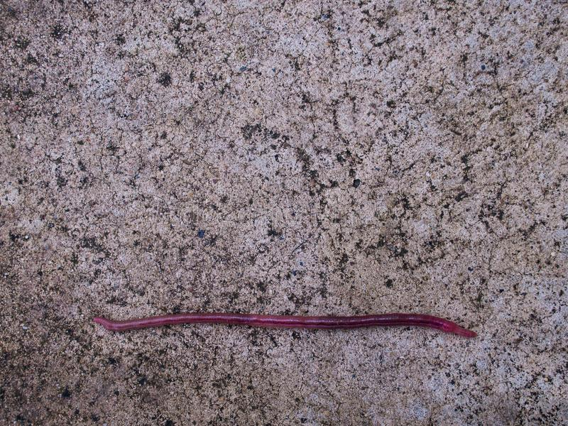 Earthworm Crawling in a Straight Line. The Earthworm Crawling in a Straight Line royalty free stock photo