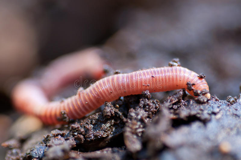 Earthworm in damp soil stock photography