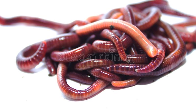 Earthworm, lumbricus, isolated on white, focus on foreground, white, cut. Out, cut-out, horizontal, creature, studio, cutout, animal themes, slimy, full length stock images