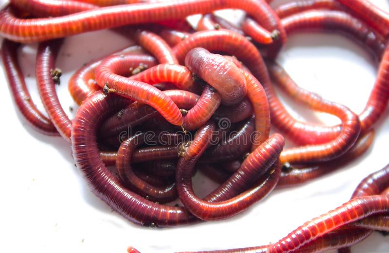 Earthworm, lumbricus, on white, focus on foreground, wh. Ite, cut out, cut-out, horizontal, creature, studio, cutout, animal themes, slimy, full length, studio stock photography