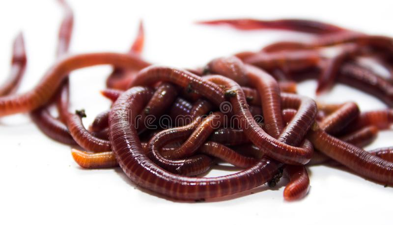 Earthworm, lumbricus, on white, focus on foreground, wh. Ite, cut out, cut-out, horizontal, creature, studio, cutout, animal themes, slimy, full length, studio stock image