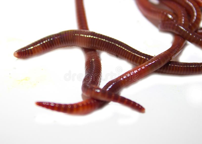 Earthworm, lumbricus, on white, focus on foreground, wh. Ite, cut out, cut-out, horizontal, creature, studio, cutout, animal themes, slimy, full length, studio stock photos