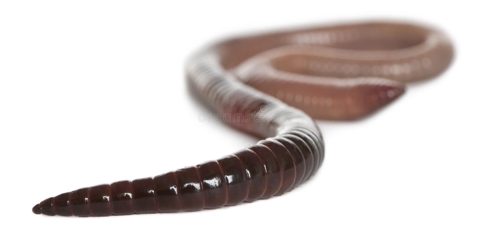 Earthworm, Lumbricus terrestris. In front of white background royalty free stock photo