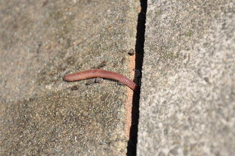 Earthworm. Lumbricus terrestris - earthworm going to hide stock photo