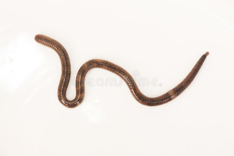 Earthworm. (Lumbricus terrestris) or night crawler or rainworm stock photos
